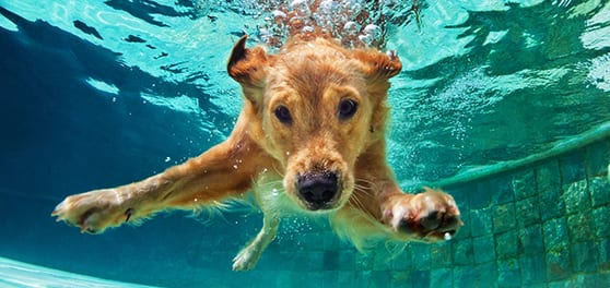 Pet Wellness Care in Milpitas: Dog Swimming